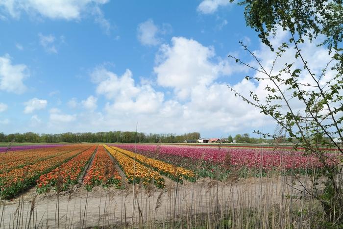 bollenvelden nederland lisse noordwijkerhout