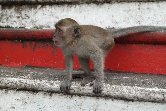 batu caves kuala lumpur maleisie malaysia monkey