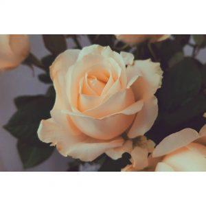 What a beauty!  rose flower flowerstagram blogger holland netherlandshellip