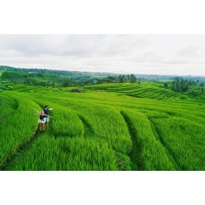 Hiking at the amazing Jatiluwih rice fields last week Ithellip