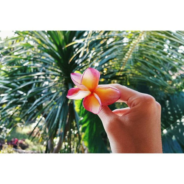 The tropical Fragipani flower you see them everywhere on Bali!hellip