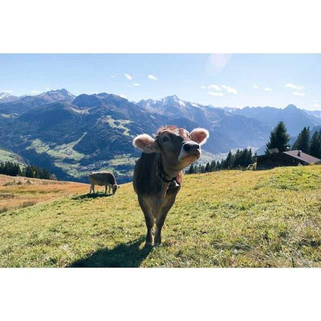 Look how curious this happy cow is austria oostenrijk sterreichhellip